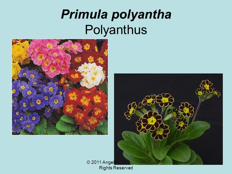 © 2011 Angela Chandler – All Rights Reserved Primula polyantha Polyanthus
