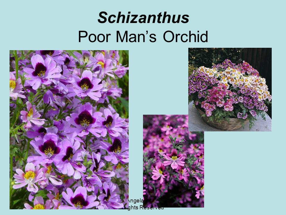 © 2011 Angela Chandler – All Rights Reserved Schizanthus Poor Man's Orchid