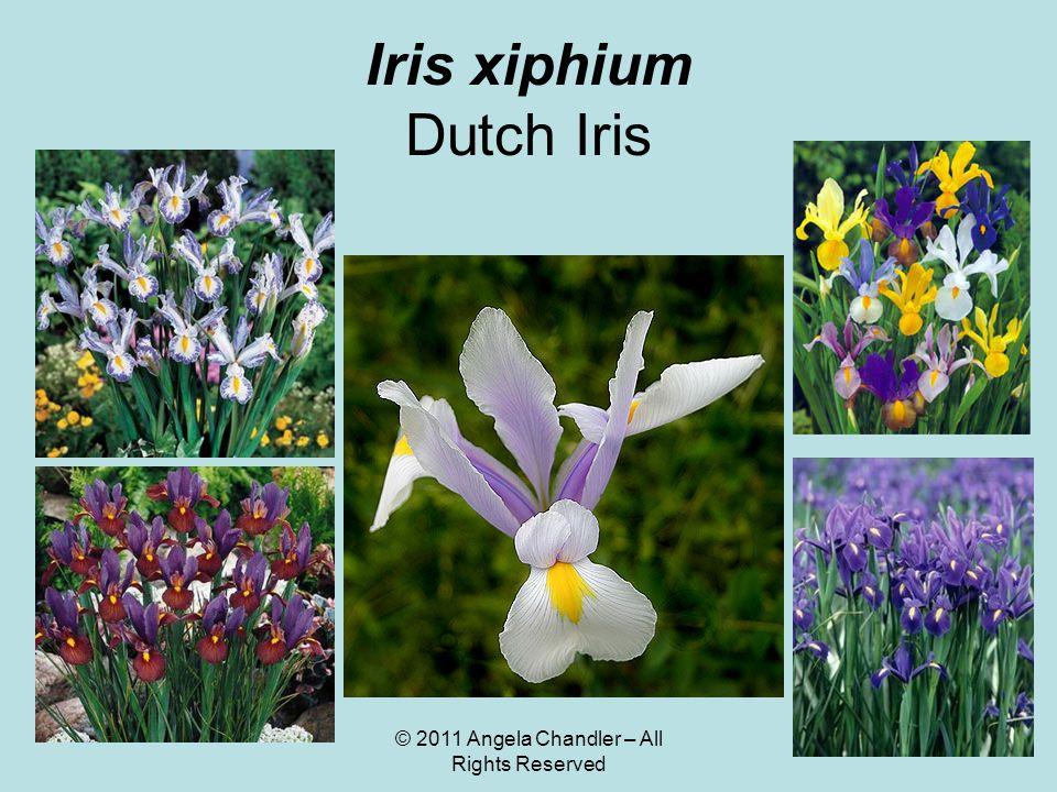 © 2011 Angela Chandler – All Rights Reserved Iris xiphium Dutch Iris