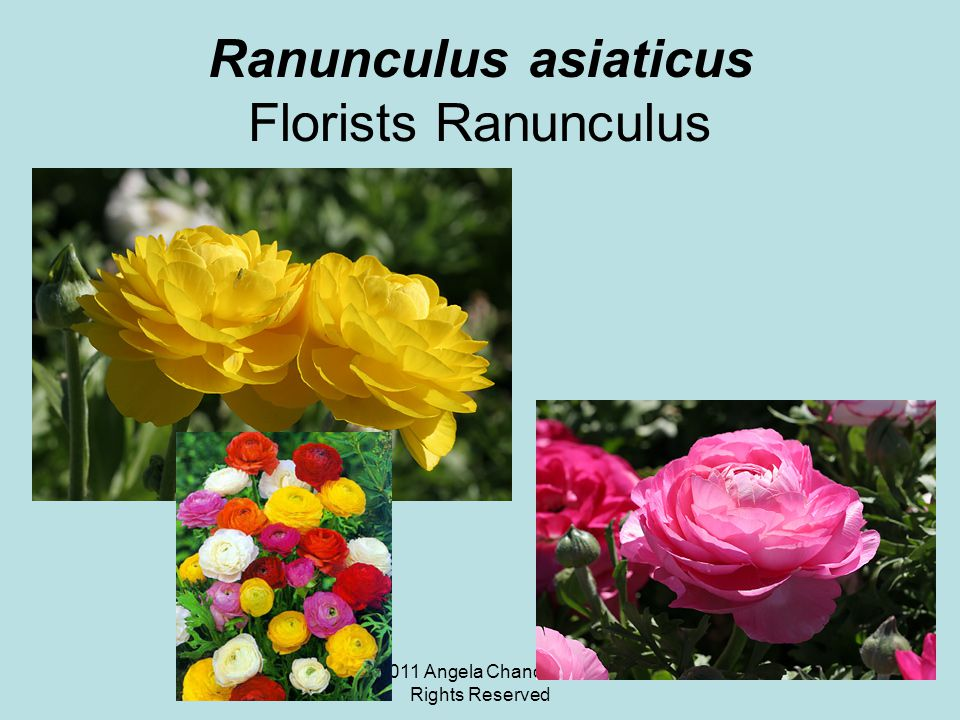 © 2011 Angela Chandler – All Rights Reserved Ranunculus asiaticus Florists Ranunculus