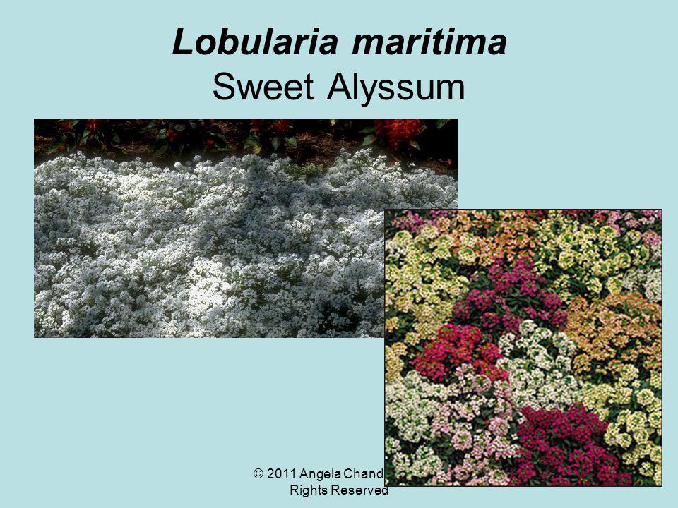 © 2011 Angela Chandler – All Rights Reserved Lobularia maritima Sweet Alyssum