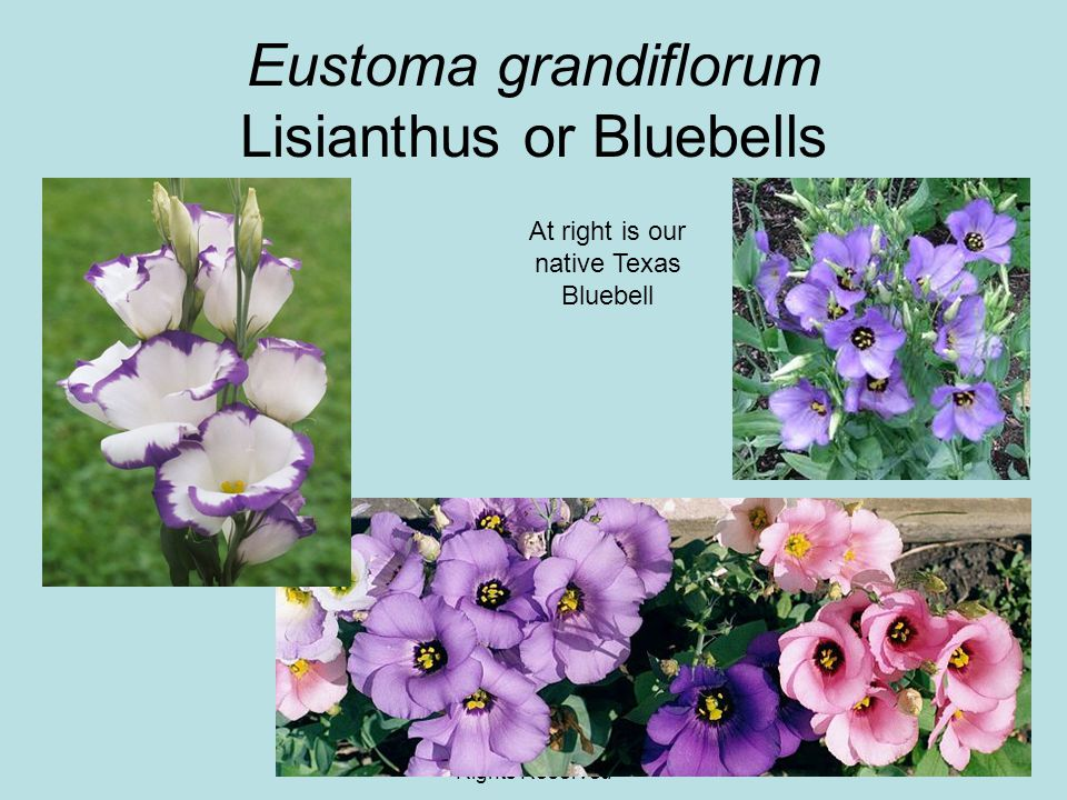 © 2011 Angela Chandler – All Rights Reserved Eustoma grandiflorum Lisianthus or Bluebells At right is our native Texas Bluebell
