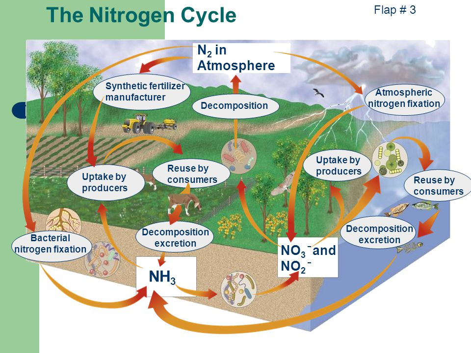 Bacterial nitrogen fixation N 2 in Atmosphere NH 3 Synthetic fertilizer manufacturer Uptake by producers Reuse by consumers Decomposition excretion Atmospheric nitrogen fixation Uptake by producers Reuse by consumers Decomposition Decomposition excretion NO 3 and NO 2 The Nitrogen Cycle Flap # 3