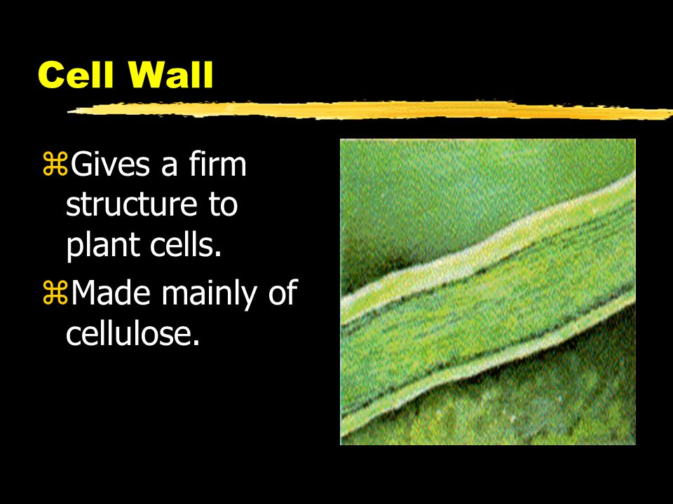 Cell Wall zGives a firm structure to plant cells. zMade mainly of cellulose.