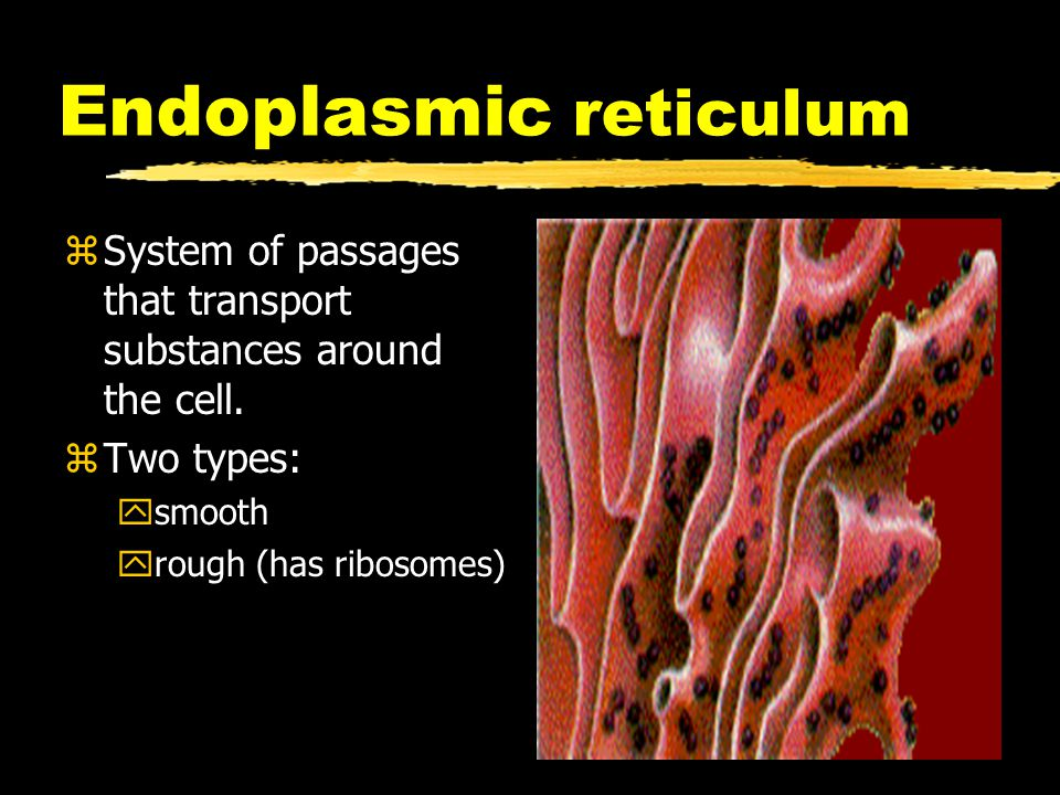 Endoplasmic reticulum zSystem of passages that transport substances around the cell. zTwo types: ysmooth yrough (has ribosomes)
