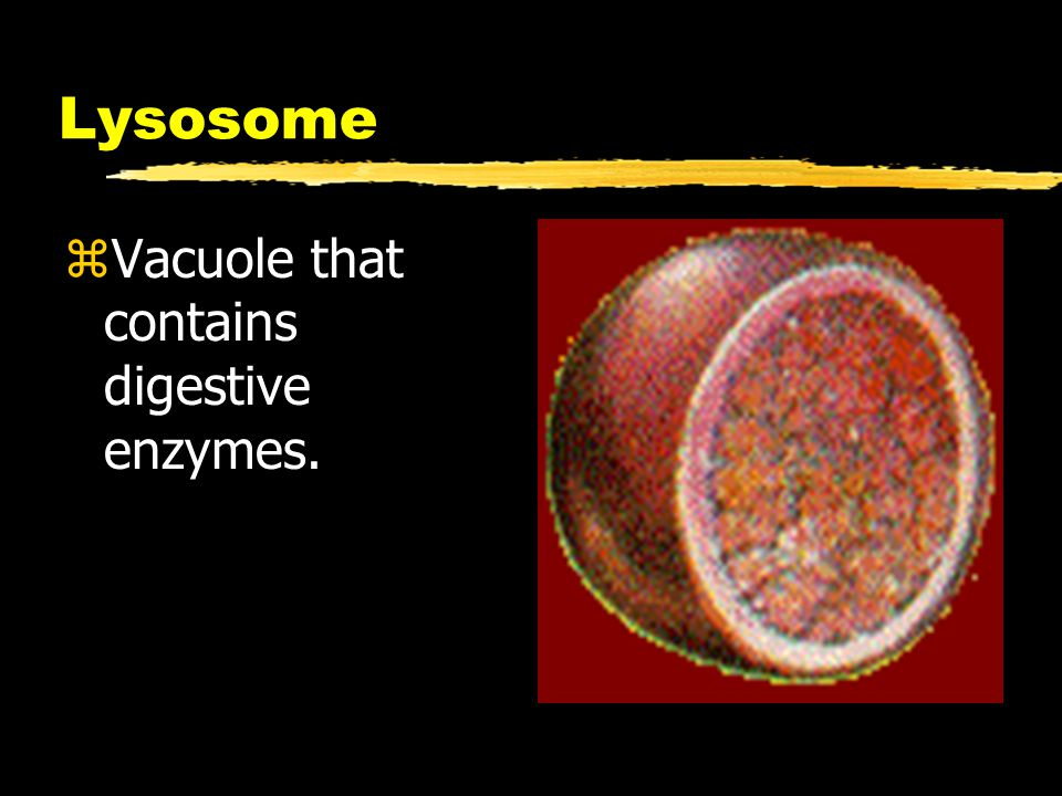 Lysosome zVacuole that contains digestive enzymes.