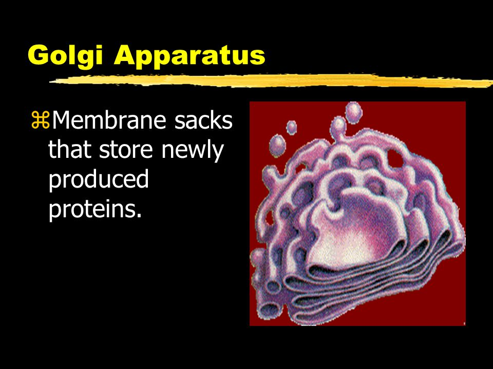 Golgi Apparatus zMembrane sacks that store newly produced proteins.