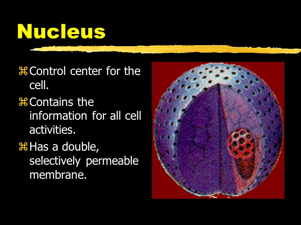 Nucleus zControl center for the cell. zContains the information for all cell activities. zHas a double, selectively permeable membrane.