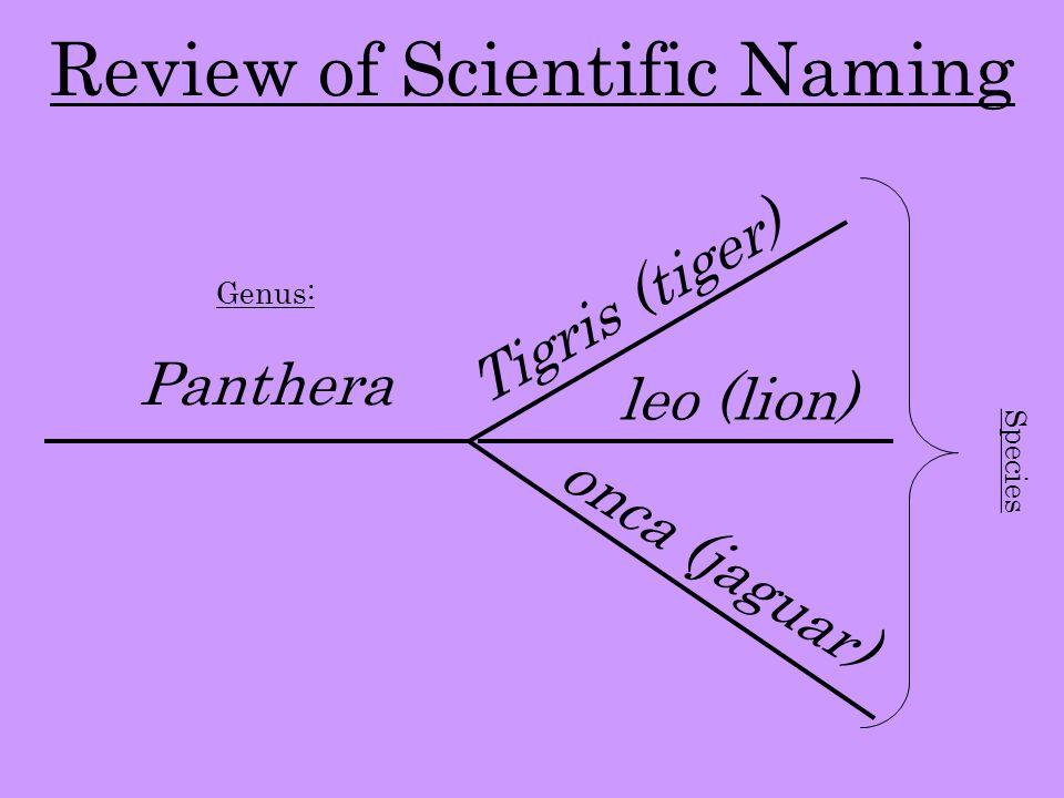 Review of Scientific Naming Genus: Panthera Tigris (tiger) leo (lion) onca (jaguar) Species