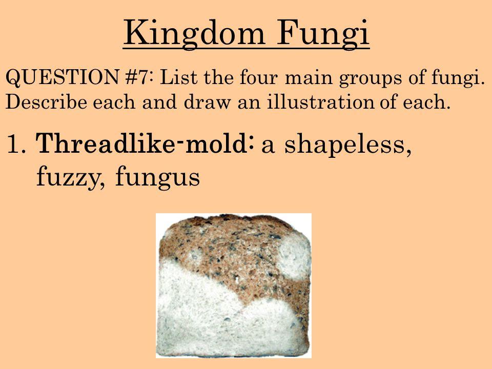 Kingdom Fungi 1. Threadlike-mold: a shapeless, fuzzy, fungus QUESTION #7: List the four main groups of fungi. Describe each and draw an illustration o