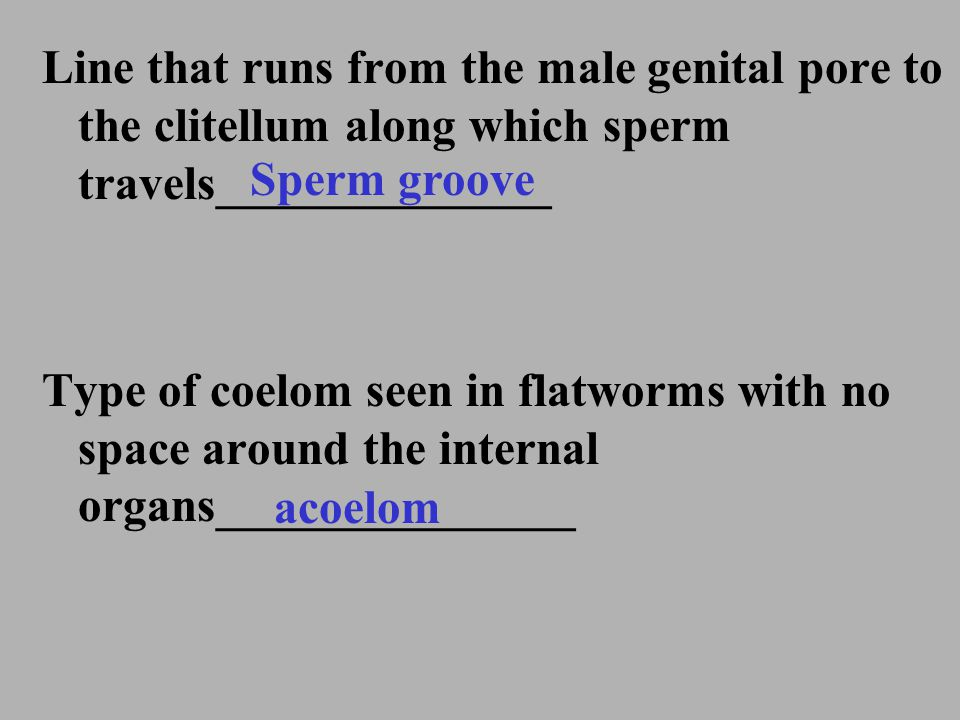 Line that runs from the male genital pore to the clitellum along which sperm travels______________ Type of coelom seen in flatworms with no space arou