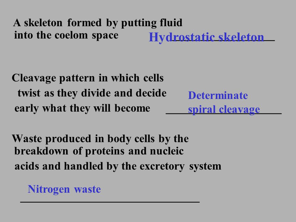 A skeleton formed by putting fluid into the coelom space __________________ Cleavage pattern in which cells twist as they divide and decide early what
