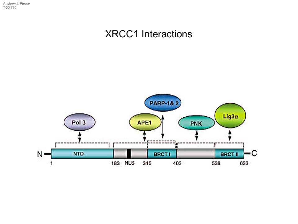 Andrew J. Pierce TOX 780 XRCC1 (N-term) DNA pol  Nicked DNA XRCC1 Holds It Together