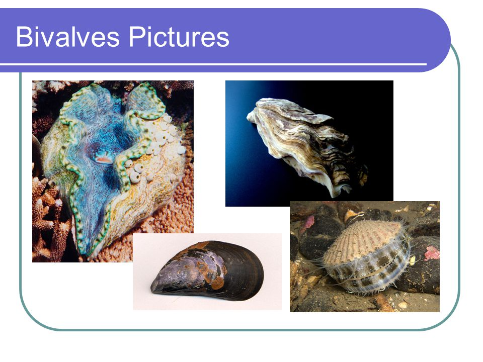 Bivalves Pictures