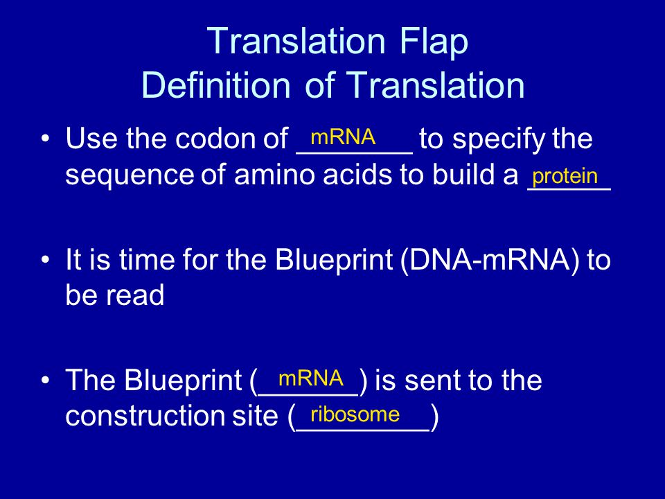 Translation Flap Definition of Translation Use the codon of _______ to specify the sequence of amino acids to build a _____ It is time for the Blueprint (DNA-mRNA) to be read The Blueprint (______) is sent to the construction site (________) mRNA protein mRNA ribosome