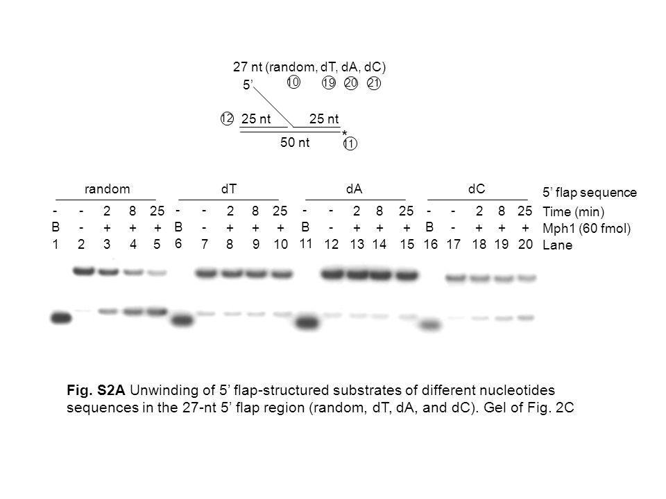 27 nt (random, dT, dA, dC) 5' * 25 nt 50 nt 10 11 12 19 2021 Mph1 (60 fmol) 1 2345 B- +++ -- 2 8 25 random Lane Time (min) 5' flap sequence 6 78910 B- +++ -- 2 8 25 11 12131415 B- +++ -- 2 8 25 16 17181920 B- +++ -- 2 8 25 dTdAdC Fig.