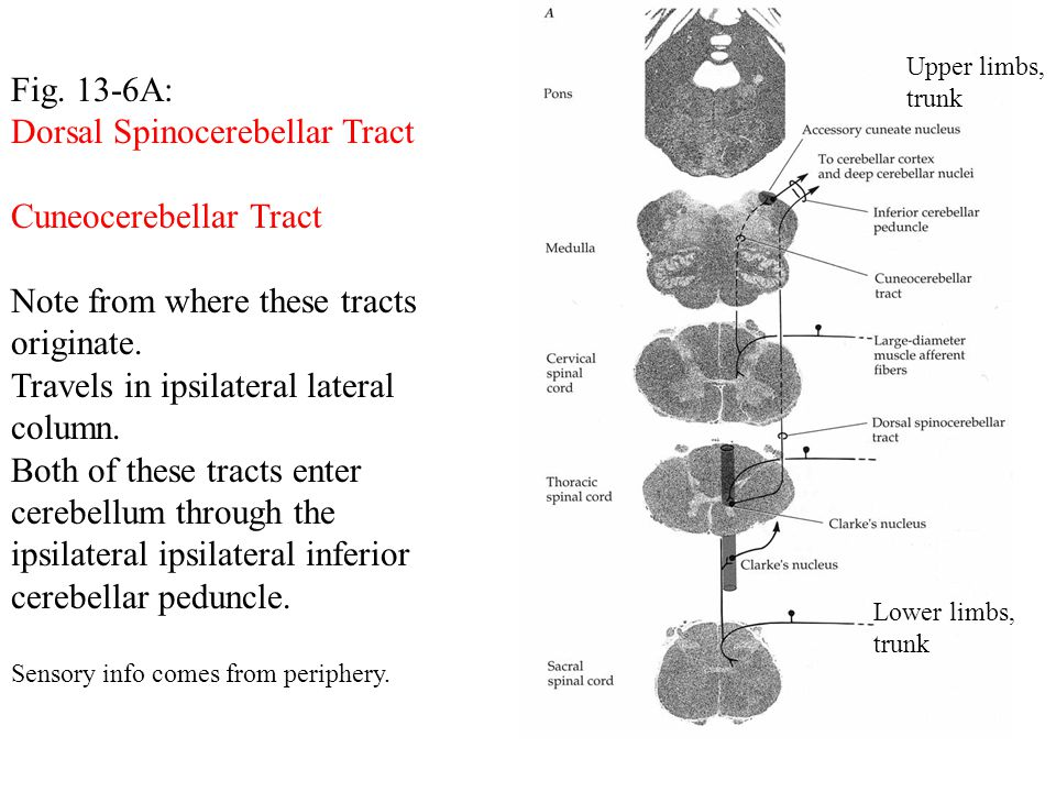Fig. 13-6A: Dorsal Spinocerebellar Tract Cuneocerebellar Tract Note from where these tracts originate. Travels in ipsilateral lateral column. Both of