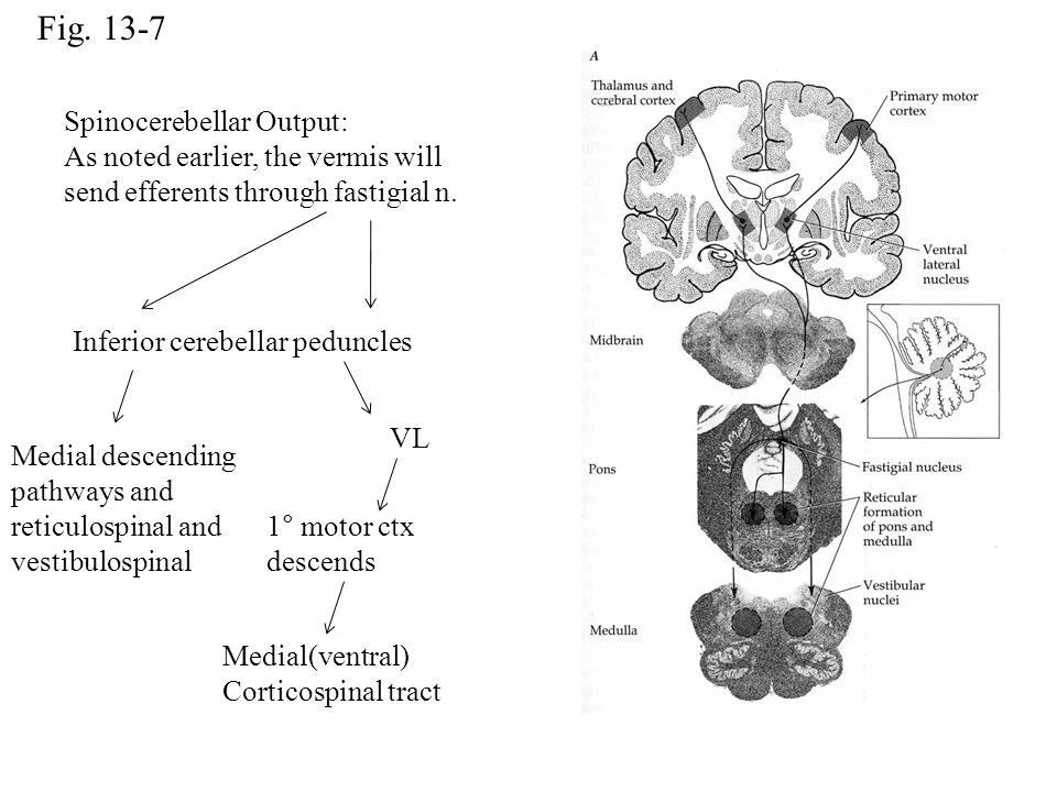 Fig. 13-7 Inferior cerebellar peduncles Medial descending pathways and reticulospinal and vestibulospinal VL 1° motor ctx descends Medial(ventral) Cor