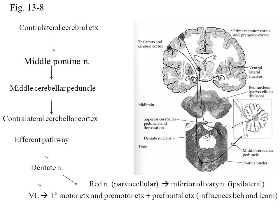 Fig. 13-8 Contralateral cerebral ctx Middle pontine n. Middle cerebellar peduncle Contralateral cerebellar cortex Efferent pathway Dentate n. Red n. (