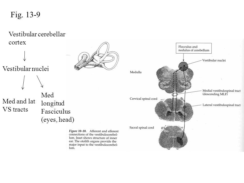 Fig. 13-9 Vestibular cerebellar cortex Vestibular nuclei Med and lat VS tracts Med longitud Fasciculus (eyes, head)