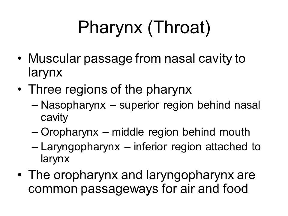 Pharynx (Throat) Muscular passage from nasal cavity to larynx Three regions of the pharynx –Nasopharynx – superior region behind nasal cavity –Orophar