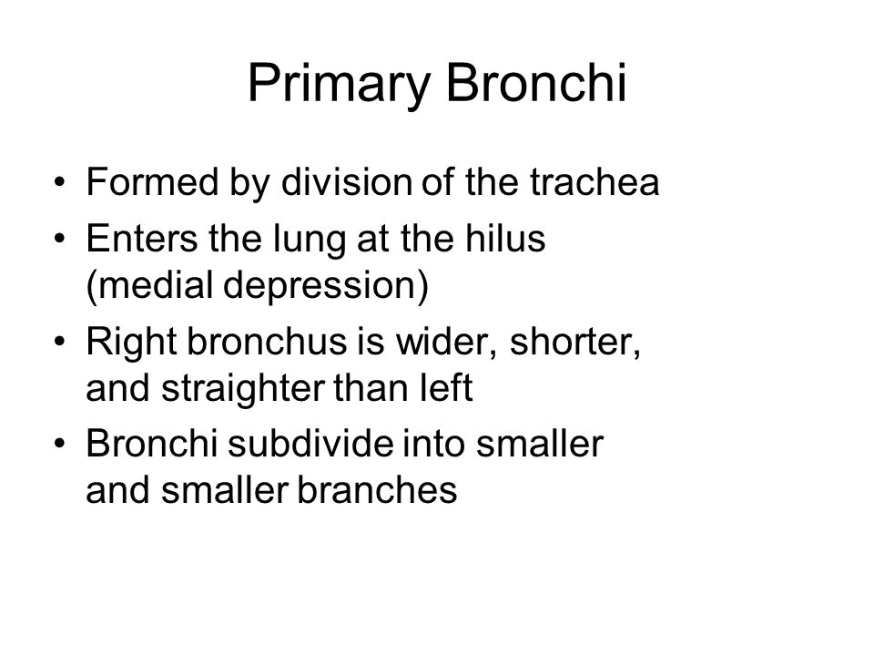 Primary Bronchi Formed by division of the trachea Enters the lung at the hilus (medial depression) Right bronchus is wider, shorter, and straighter th