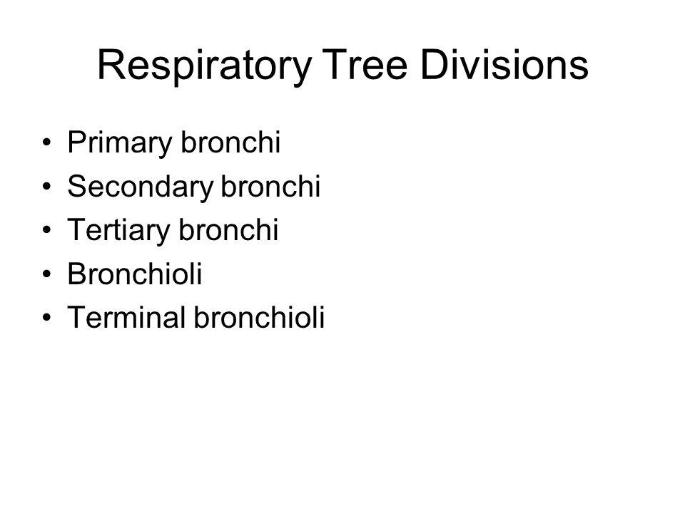 Respiratory Tree Divisions Primary bronchi Secondary bronchi Tertiary bronchi Bronchioli Terminal bronchioli