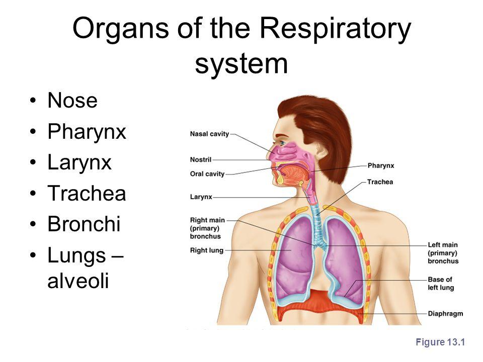 Organs of the Respiratory system Nose Pharynx Larynx Trachea Bronchi Lungs – alveoli Figure 13.1