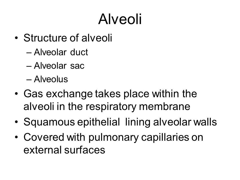 Alveoli Structure of alveoli –Alveolar duct –Alveolar sac –Alveolus Gas exchange takes place within the alveoli in the respiratory membrane Squamous e