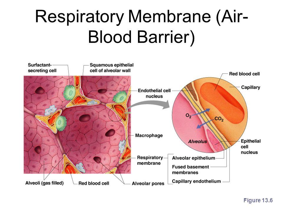 Respiratory Membrane (Air- Blood Barrier) Figure 13.6