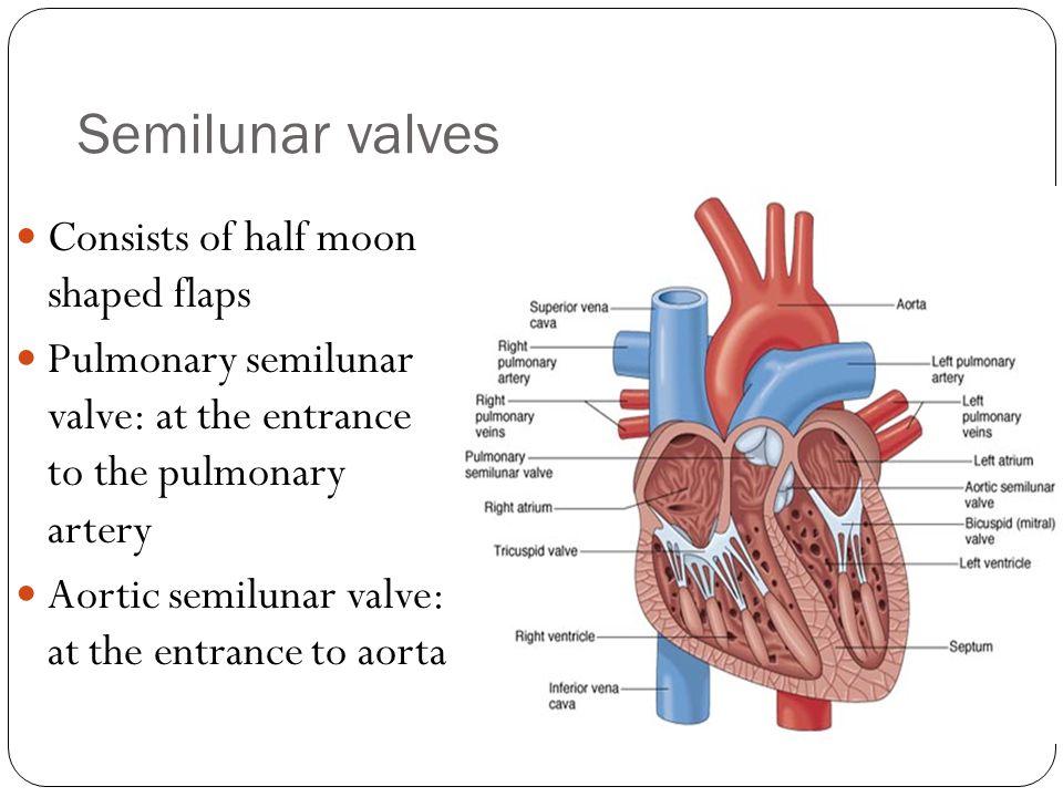 Semilunar valves Consists of half moon shaped flaps Pulmonary semilunar valve: at the entrance to the pulmonary artery Aortic semilunar valve: at the