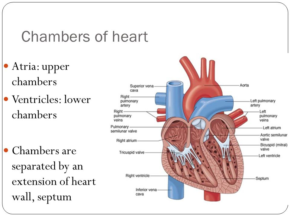 Blood vessels Arteries: carry blood away from heart Arterioles: small arteries Veins: Carry blood toward heart Venules: small veins Capillaries: microscopic blood vessels that carry blood from arterioles to venules