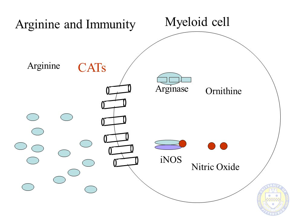 Arginine Myeloid cell CATs Arginine and Immunity iNOS Nitric Oxide Arginase Ornithine