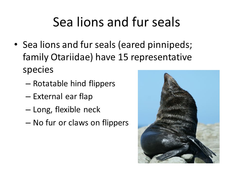 Sea lions and fur seals Sea lions and fur seals (eared pinnipeds; family Otariidae) have 15 representative species – Rotatable hind flippers – External ear flap – Long, flexible neck – No fur or claws on flippers