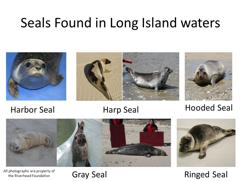 Seals Found in Long Island waters Harbor SealHarp Seal Gray Seal Hooded Seal Ringed Seal All photographs are property of the Riverhead Foundation