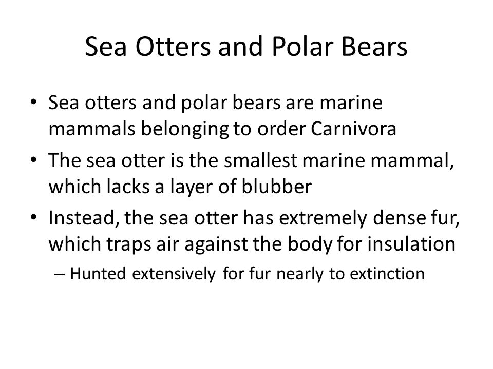 Sea Otters and Polar Bears Sea otters and polar bears are marine mammals belonging to order Carnivora The sea otter is the smallest marine mammal, which lacks a layer of blubber Instead, the sea otter has extremely dense fur, which traps air against the body for insulation – Hunted extensively for fur nearly to extinction
