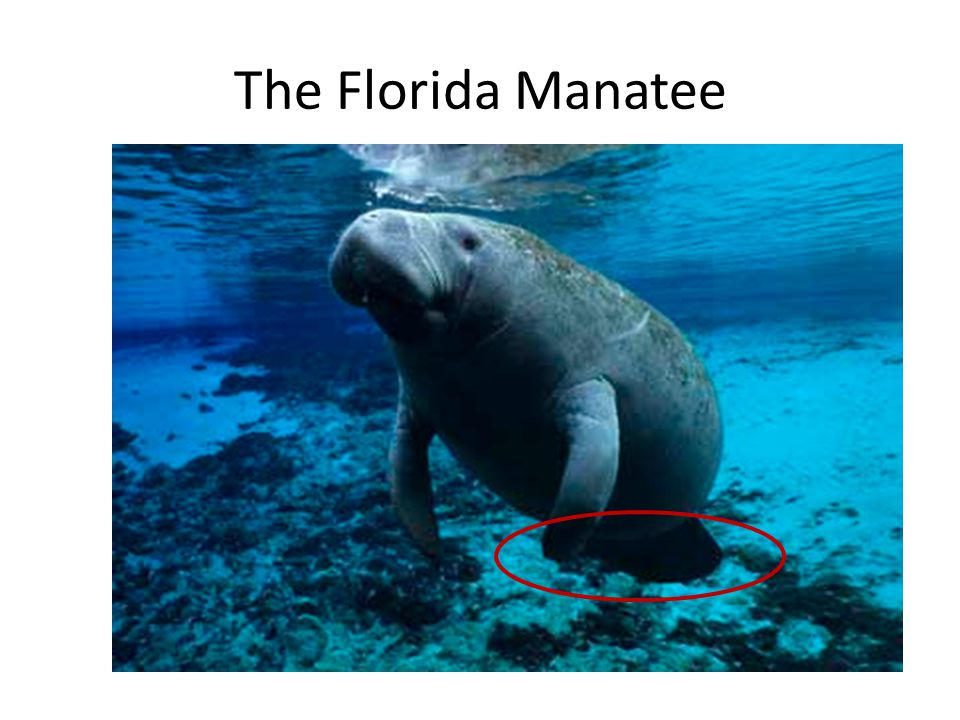 The Florida Manatee