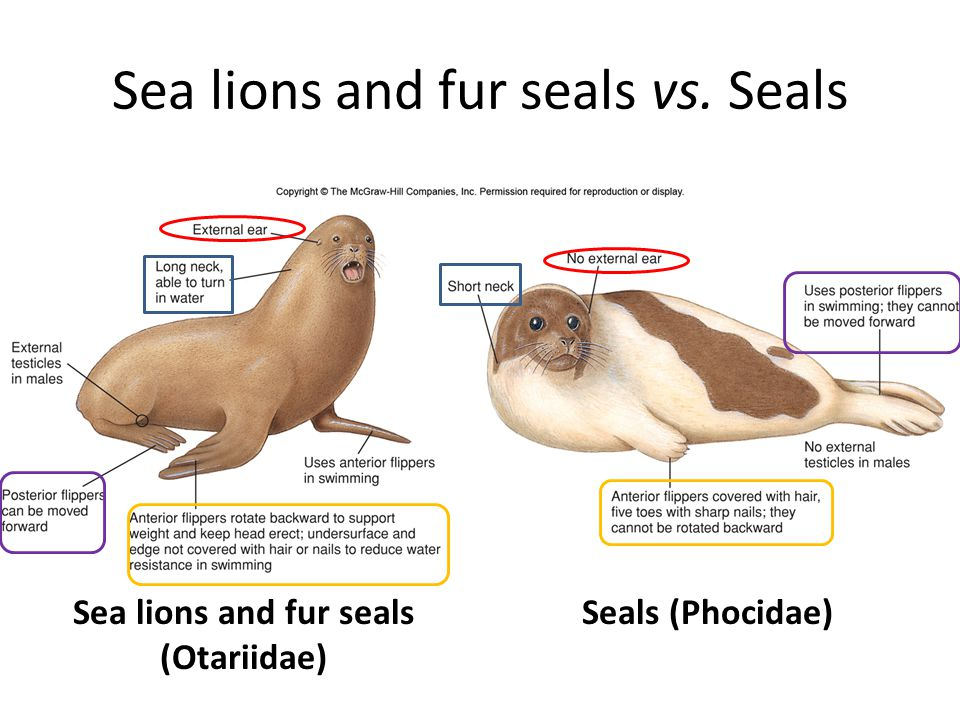 Sea lions and fur seals vs. Seals Sea lions and fur seals (Otariidae) Seals (Phocidae)