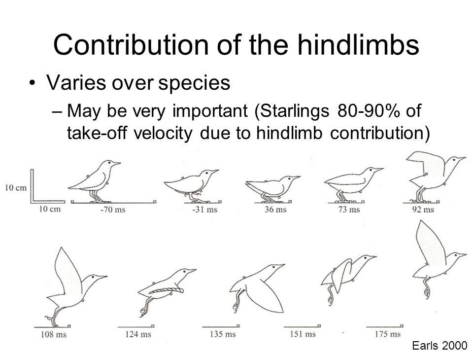 Contribution of the hindlimbs Varies over species –May be very important (Starlings 80-90% of take-off velocity due to hindlimb contribution) Earls 2000