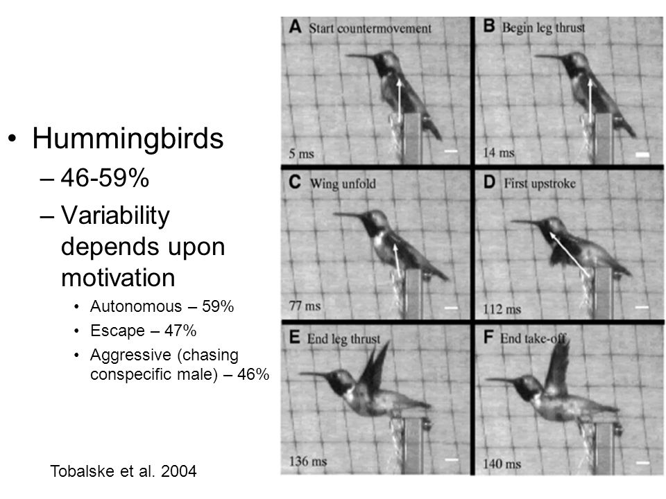 Hummingbirds –46-59% –Variability depends upon motivation Autonomous – 59% Escape – 47% Aggressive (chasing conspecific male) – 46% Tobalske et al.
