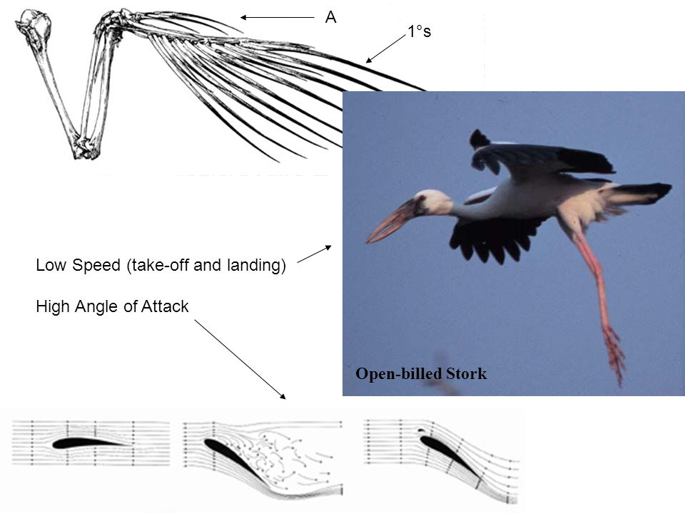 A 1°s Open-billed Stork Low Speed (take-off and landing) High Angle of Attack