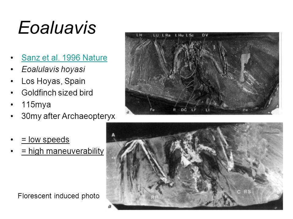 Sanz et al. 1996 Nature Eoalulavis hoyasi Los Hoyas, Spain Goldfinch sized bird 115mya 30my after Archaeopteryx = low speeds = high maneuverability Fl