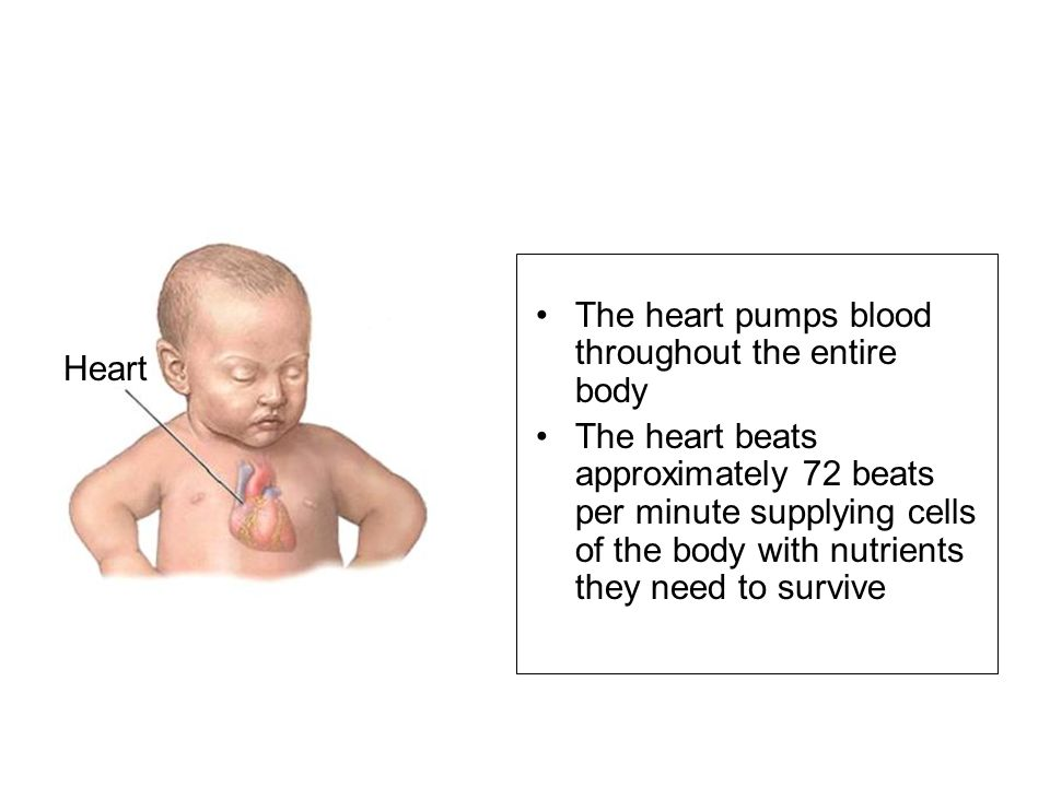 Typically, the foramen ovale and ductus arteriosus close following birth, thus altering the circulatory system.