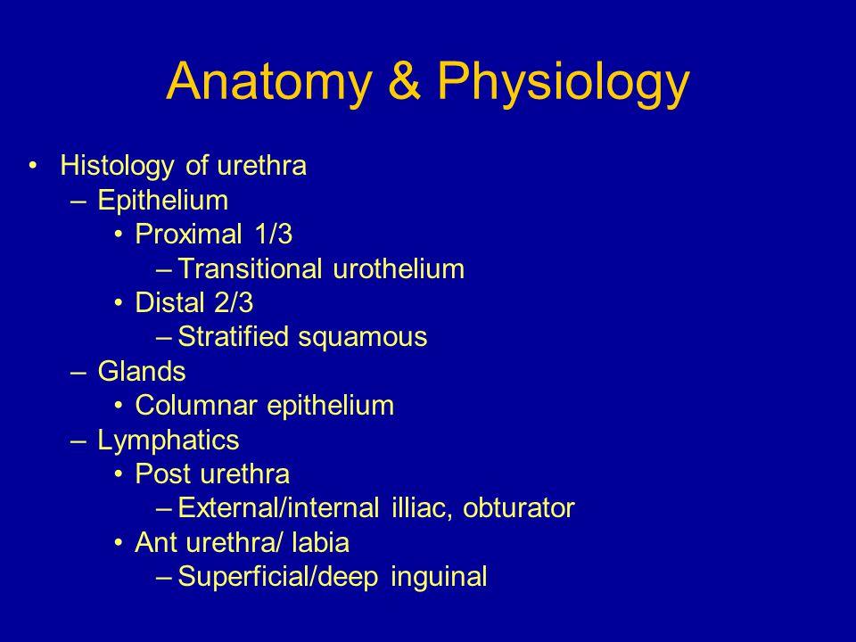 Anatomy & Physiology Histology of urethra –Epithelium Proximal 1/3 –Transitional urothelium Distal 2/3 –Stratified squamous –Glands Columnar epitheliu
