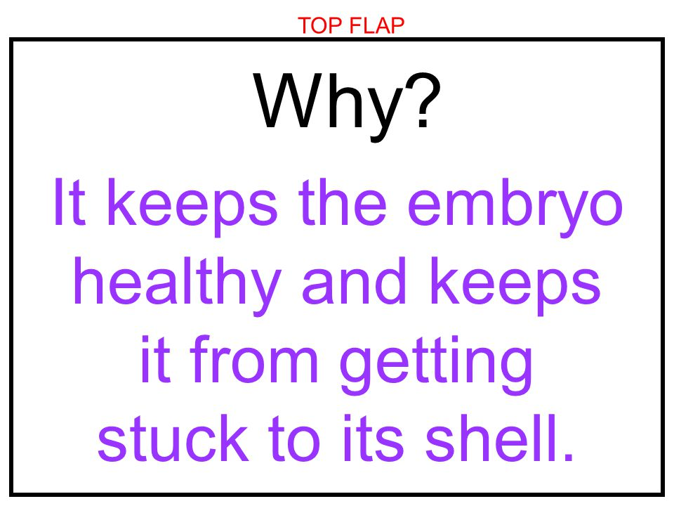 TOP FLAP Why It keeps the embryo healthy and keeps it from getting stuck to its shell.