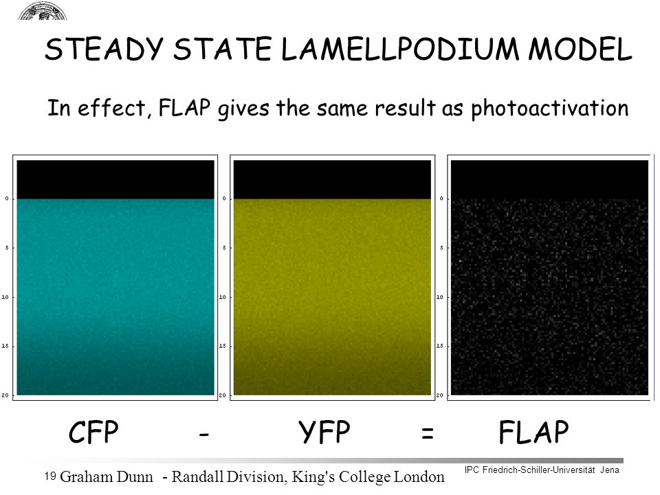 IPC Friedrich-Schiller-Universität Jena 19 STEADY STATE LAMELLPODIUM MODEL In effect, FLAP gives the same result as photoactivation CFP - YFP = FLAP Graham Dunn - Randall Division, King s College London