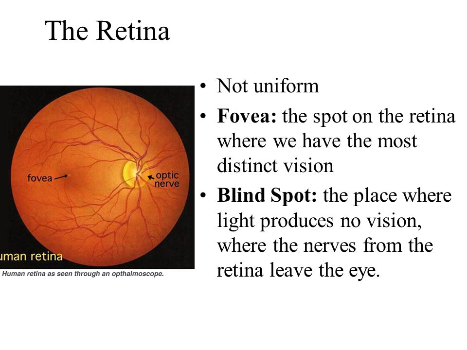 The Retina Not uniform Fovea: the spot on the retina where we have the most distinct vision Blind Spot: the place where light produces no vision, where the nerves from the retina leave the eye.
