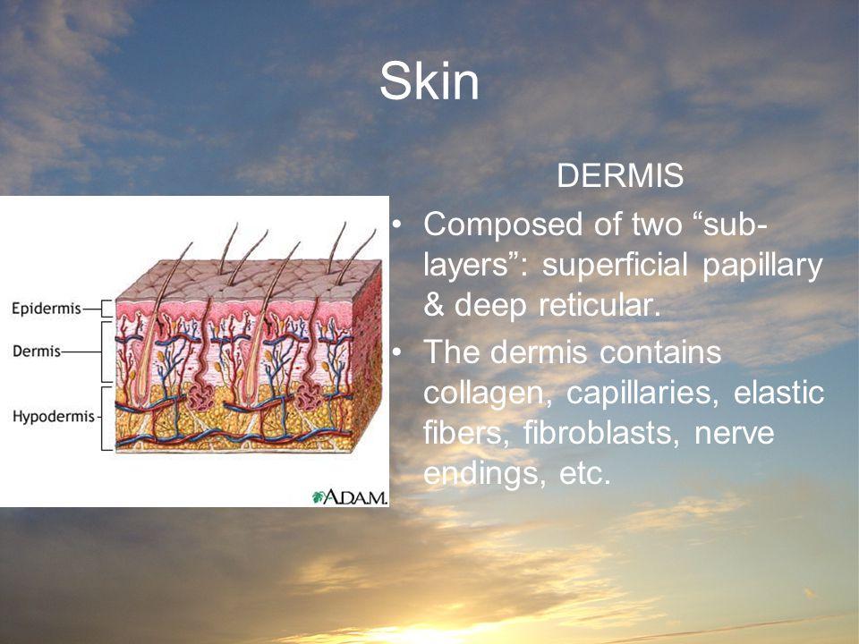 "Skin DERMIS Composed of two ""sub- layers"": superficial papillary & deep reticular. The dermis contains collagen, capillaries, elastic fibers, fibrobla"