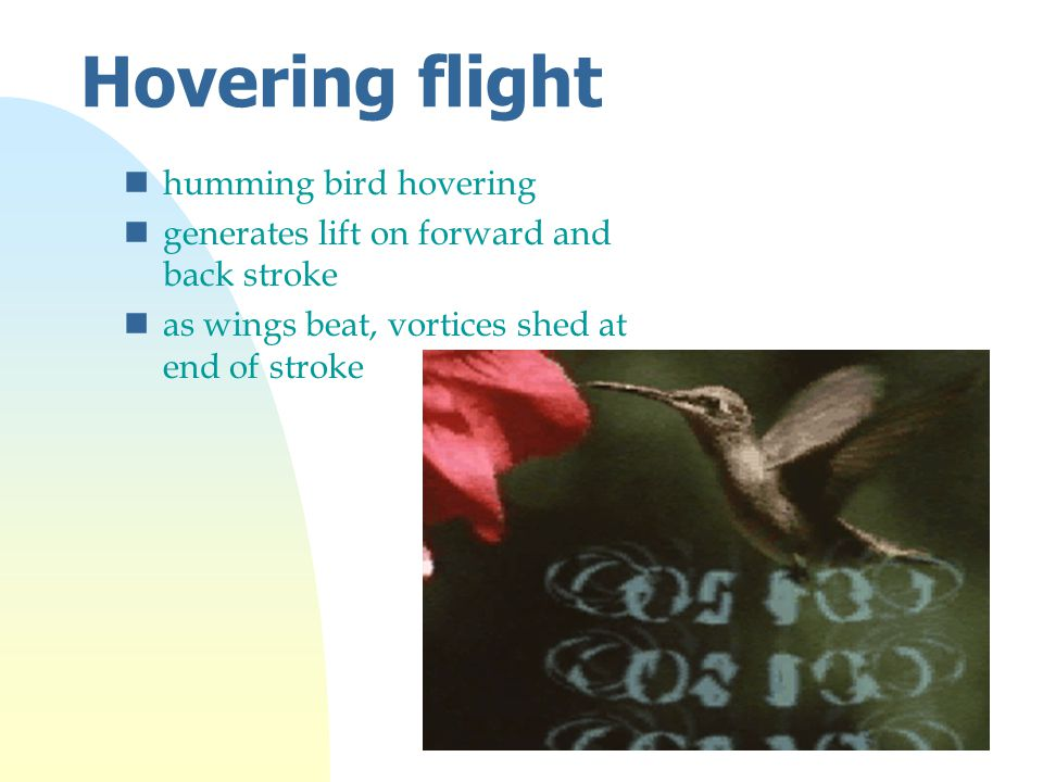 Hovering flight nhumming bird hovering ngenerates lift on forward and back stroke nas wings beat, vortices shed at end of stroke