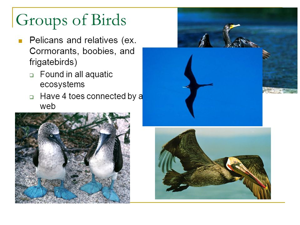 Pelicans and relatives (ex. Cormorants, boobies, and frigatebirds)  Found in all aquatic ecosystems  Have 4 toes connected by a web Groups of Birds